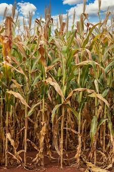 Maïsplantage veld, voedsel voor mens en dier.