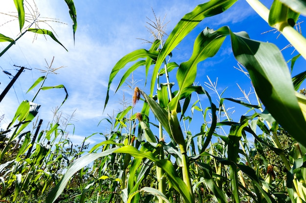 Maïsspruiten op een blauwe hemelachtergrond, mening van de bodem