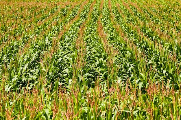 Maïsveld - een landbouwveld waarop maïs groeit