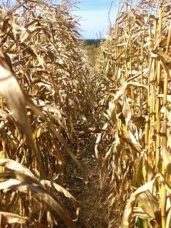 Maïsveld gewassen