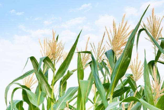 Maïsveld in heldere dag, maïsboom met blauwe bewolkte hemel