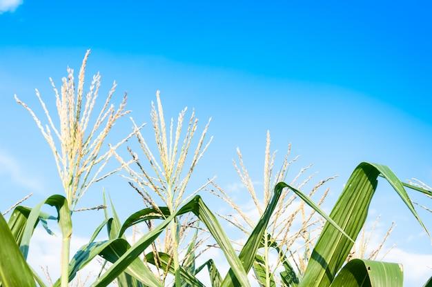 Maïsveld in heldere dag, maïsboom op landbouwgrond met blauwe bewolkte hemel