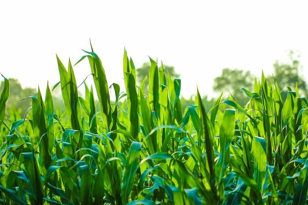 Maïsveld, indische landbouw