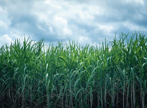 Maïsveld opgroeien in landbouwplant