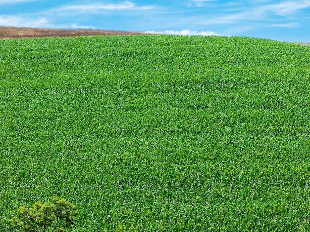Maïsveld plantage in brazilië