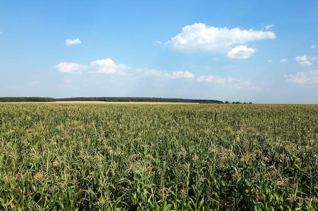 Maïsveld, zomer - landbouwgebied met groene onrijpe maïs, close-up