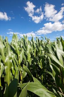 Maïsveld zomer maïs op het gebied van landbouw onrijpe groene maïs zomer