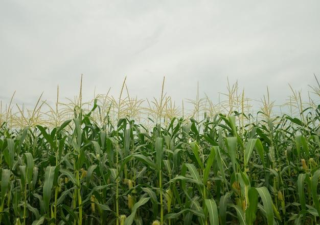 Maïsvelden prachtig natuurlijk uitzicht regenseizoen