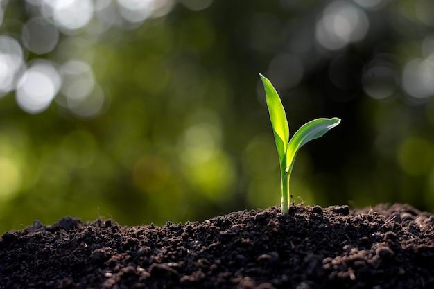 Maïszaailingen groeien uit de grond.