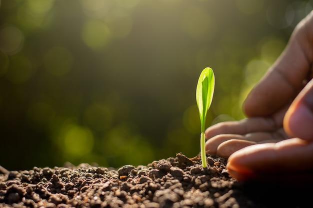 Maïszaailingen groeien uit vruchtbare grond.