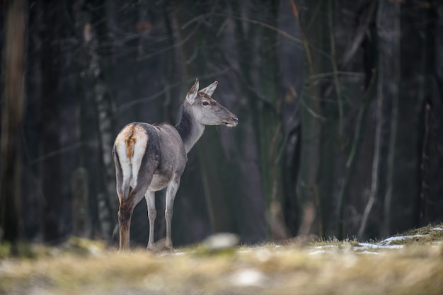 Majestueus hertenmannetje in bos. dier in de natuur habitat. groot zoogdier. wildlife scène