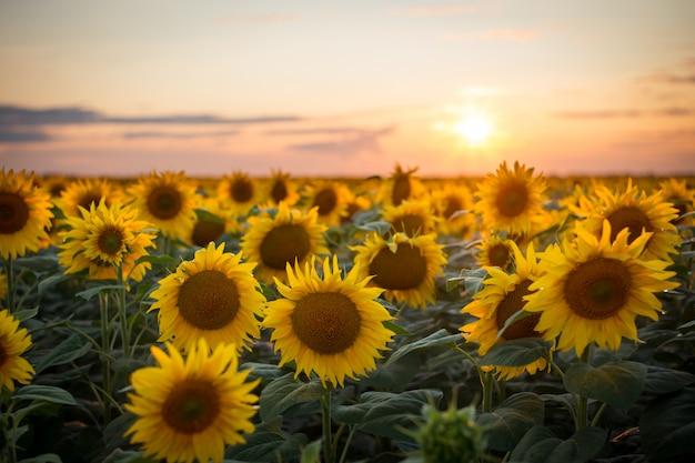Majestueus landelijk landschap van gouden zonnebloemen bloeien in het eindeloze veld net voordat de zon de horizon raakt