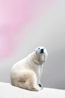 Majestueuze ijsbeerzitting bij het koude sneeuw rusten