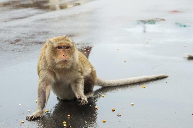 Makaak aap die op graanzaden van toeristen wachten.
