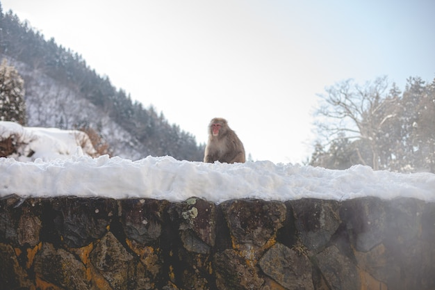 Makaak aap staande op een besneeuwde heuvel