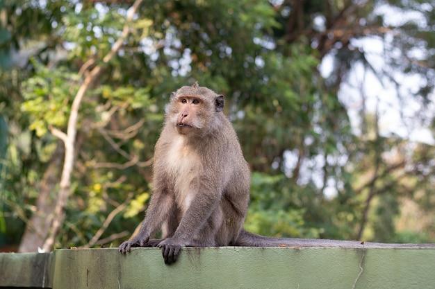 Makaak aap zittend op een groen hek in de tropen