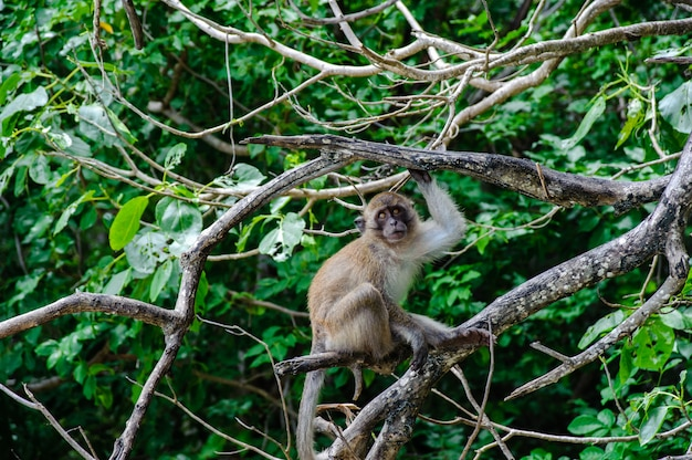 Makaak zittend op een mangroveboom. macaca fascicularis