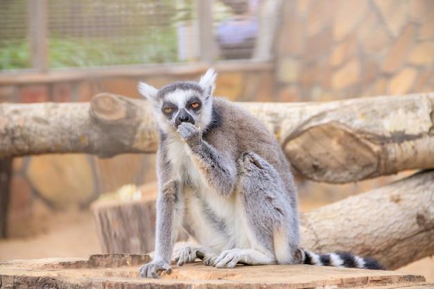 Maki in de dierentuin. een dier in gevangenschap. gestreepte staart.