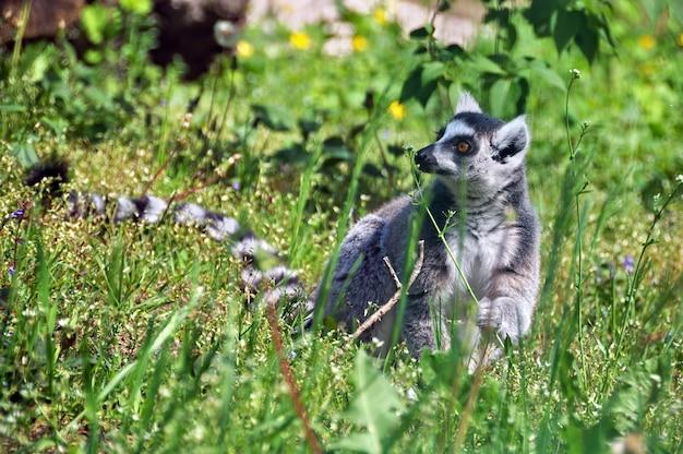 Maki met zwart-witte geringde staart die een bloem buiten op aard ruikt
