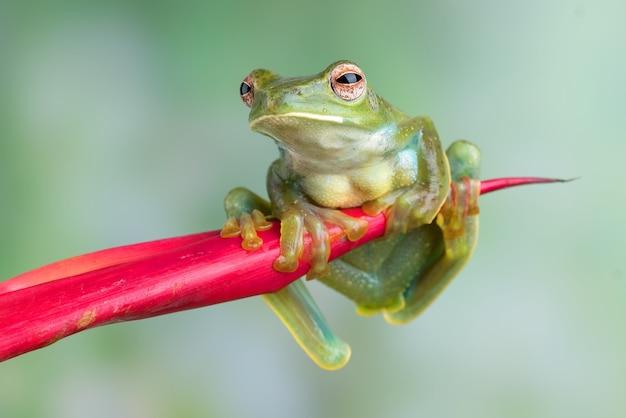 Maleise boomkikker die aan rode bloem hangt
