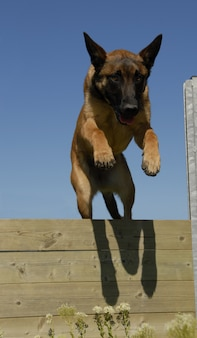 Malinois springen
