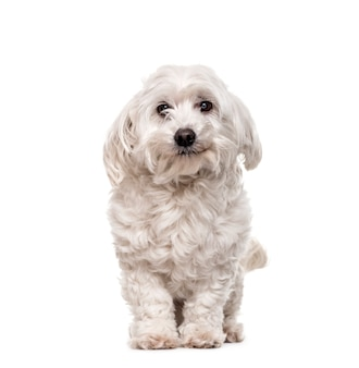 Maltese hond staan