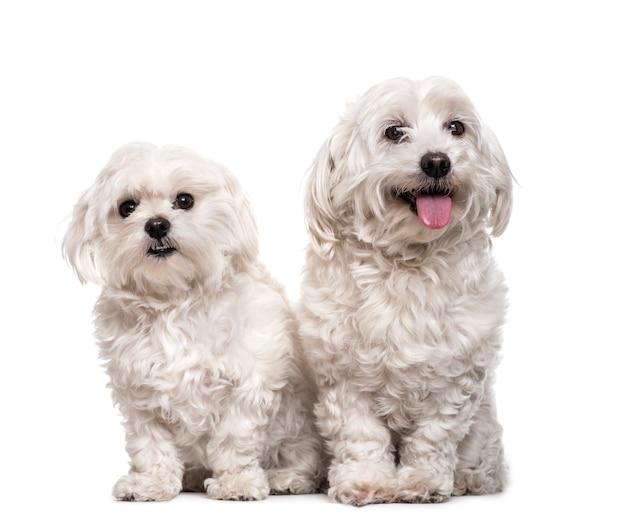 Maltese honden zitten