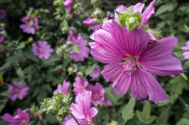 Malve bloeit uitbundig in een park in londen