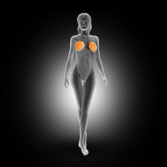 Mamary klieren van de vrouwen in het hele lichaam