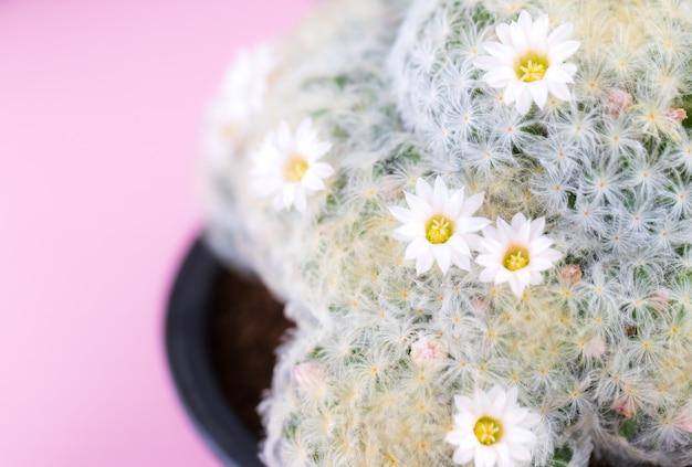 Mammillaria hahniana cactus geïsoleerd op roze achtergrond