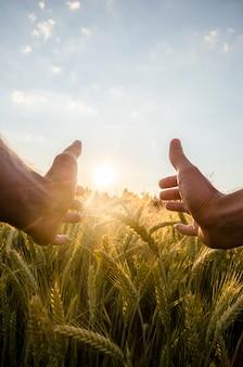 Man cupping de zon met zijn handen over tarwe
