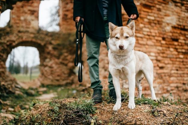 Man husky pup voorbij bakstenen muren lopen.