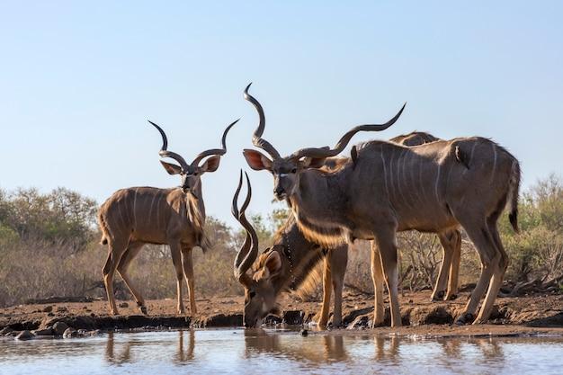 Man kudu bulls drinkwater