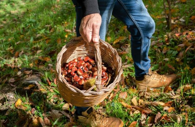 Man met een mand met kastanjes in het bos, sardijnse kastanjes