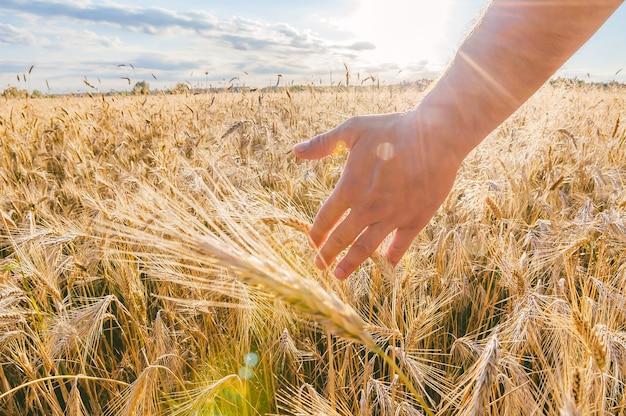 Man's hand over tarwe. tegen de achtergrond van het veld bij zonsondergang.