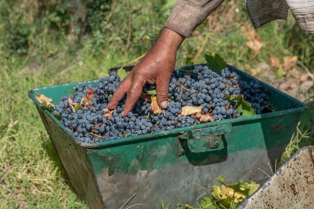 Man's hand regelen van druiven in mand