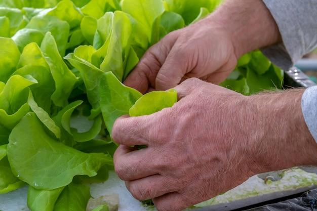 Man's handen planten hydrocultuur sla
