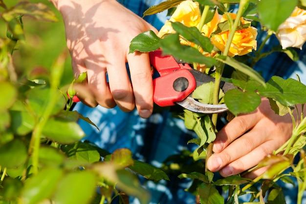 Man snijden de rozen in de tuin