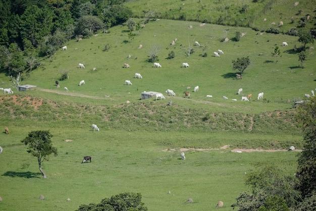 Man te paard op zoek naar vee in de wei