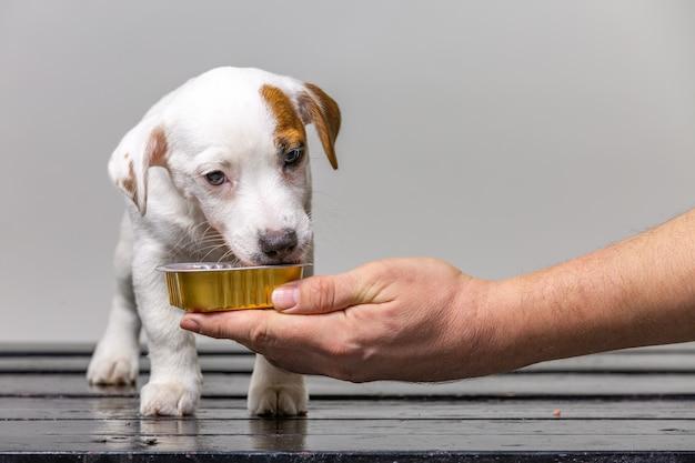 Man voedt kleine schattige jack russel puppy uit de hand