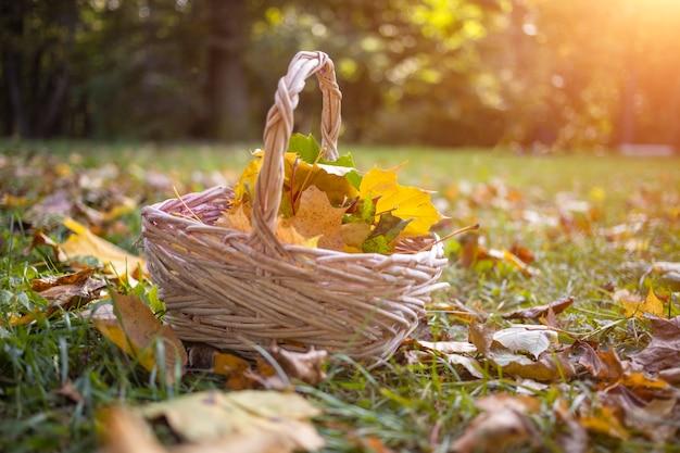 Mand met esdoornbladeren in het herfstbos in de zon