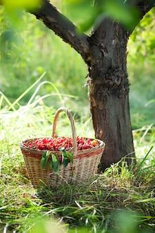 Mand met rode kersen onder de boom in zonlicht