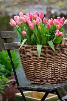 Mand met roze tulpen in de tuin. beroemd symbool van nederland, amsterdam