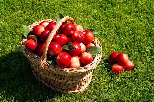 Mand vol rijpe rode appels op groen gras oogsten verspreide appels en vers biologisch fruit van de boerderij