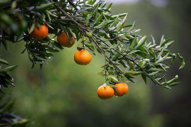 Mandarijn fruit op een boom. oranje boom. verse sinaasappel op plant