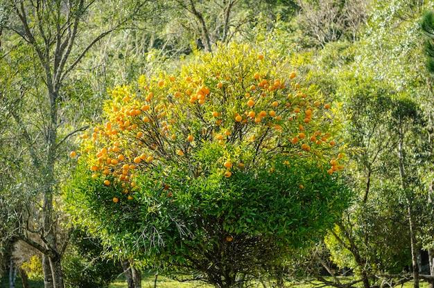 Mandarijnboom in gramado, rio grande do sul, brazilië op 10 augustus 2008.