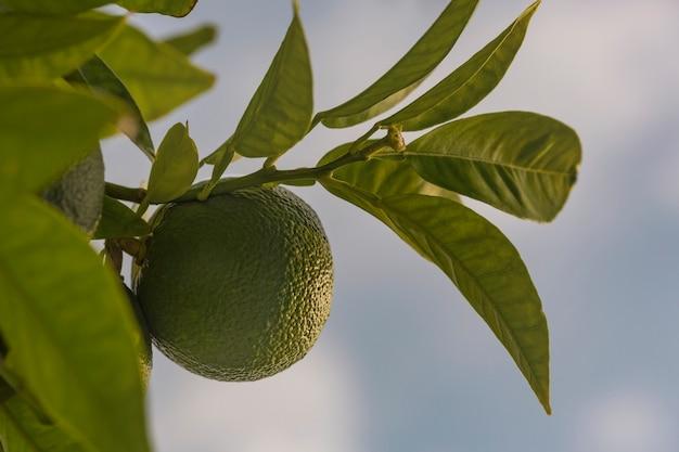 Mandarijnboom met fruit. tak met verse groene mandarijnen en bladeren. satsuma boom afbeelding.
