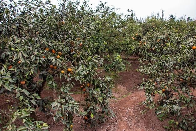 Mandarijnen in planten klaar om te worden geoogst wetenschappelijke naam citrus reticulata