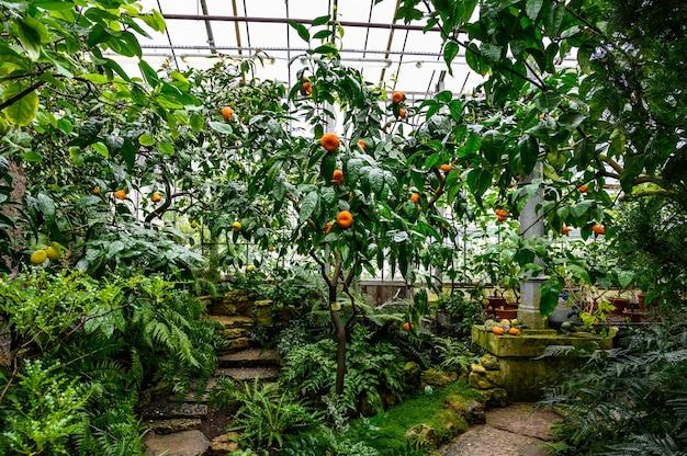 Mandarijnen onder gebladerte. mandarijn aan een boom