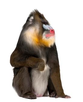 Mandrilzitting, mandrillus-sfinx, 22 jaar oud, primaat van de oude wereldaapfamilie tegen witte oppervlakte